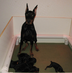 Doberman, Dobermann, Doberman Pinscher, Doberman puppy, Dobermann puppy, Doberman Pinscher puppies, Dobes, Dobies, Dobe pups, Doberman pups in Ontario, European Dobermanns, Euro Dobe, European Dobermann pups, CKC registered Doberman pups, Doberman behaviour, Doberman Health, Dobe litters, CKC registered Dobermans, Monica Peterson, Dobie pups, Doberman Pinscher, Doberman Pinscher pups, Dobermanns, Dobereich, Dobereich perm reg'd, CKC Dobermann breeder, Dobermann kennel, CKC Doberman Pinscher kennel, Dobe breeder, Dobermanns in Canada, Canadian Doberman Pinscher, Monica Peterson, Dobereich, Dobereich registered, DPCC, Doberman Health