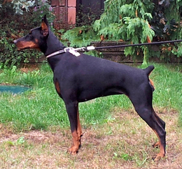 Dobereich Doberman females