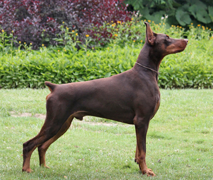 Doberman Pinscher Doberman And Pug Breeder Dobereich Reg